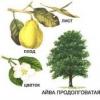 Айва обыкновенная (продолговатая) ее полезные свойства, рецепты для лечения