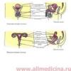 Анатомия половой системы