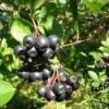 Арония черноплодная свойства, рецепты