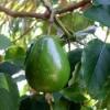 Авокадо польза и вред для здоровья человека