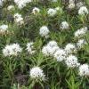 Багульник болотный: лечебные свойства, применение, противопоказания