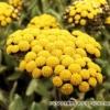 Бессмертник - о полезных свойствах и противопоказаниях растения
