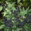 Бузина черная: лечебные свойства и противопоказания, народные рецепты