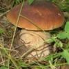 Целебные свойства белых грибов