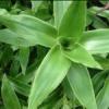 Целебные свойства растения золотой ус