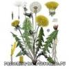 Чем полезны цветы, корни и листья одуванчика?