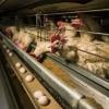 Чем в домашних условиях кормить кур несушек, чтобы лучше неслись?