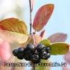 Черноплодка - полезные свойства и противопоказания
