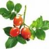 Что можно приготовить из плодов шиповника?