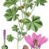 Цветок просвирник - мальва, свойства, лечение, применение