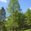 Дерево сибирская лиственница