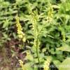 Донник желтый - дикий хмель или растение заячий холодок