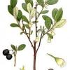 Голубика садовая - голубика лечебные свойства, польза, рецепты