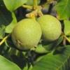 Грецкие орехи - полезные свойства