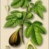 Инжир как лекарственное растение