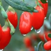 Ягоды годжи. Полезны ли эти ягоды? Как правильно их кушать?