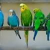 Как научить говорить волнистого попугая? Каких попугаев можно научить говорить?