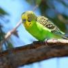 Как определить возраст и узнать пол волнистого попугая?