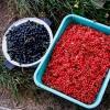 Как ухаживать за смородиной? Советы опытных садоводов