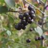 Как выращивать черноплодную рябину