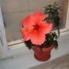 Как вырастить домашнюю розу в квартире?