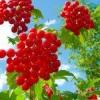 Калина красная лечебные свойства