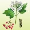 Калина красная польза ягод, коры, листьев, цветов и побегов