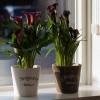 Каллы в горшках: уход в домашних условиях. Когда выкапывать и как хранить каллы? Почему их считают цветами смерти?