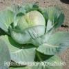 Капуста белокочанная: калорийность, польза и вред, состав, описание капусты белокочанной, противопоказания