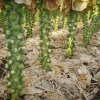 Капуста брюссельская: выращивание и уход. Лучшие сорта капусты брюссельской