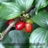 Кизил дерево, ягода. Полезные свойства и противопоказания