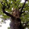 Кора дуба - свойства лечебные