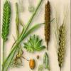 Культурное растение пшеница обыкновенная