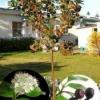 Кустарник арония черноплодная
