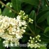 Кустарник бирючина – растение лекарственное