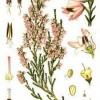 Кустарник вереск обыкновенный - вечнозеленое растение: лечебные свойства