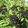 Лечебные свойства и применение бузины