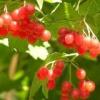 Лечебные свойства плодов калины