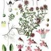 Лекарственная трава тимьян обыкновенный