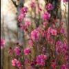Лекарственное болотное растение багульник