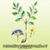 Лекарственное растение Аралия маньчжурская