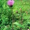 Лекарственное растение бодяк разнолистный