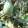 Лекарственное растение фейхоа
