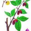 Лекарственное растение кизил