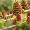 Лекарственное растение лиственница сибирская