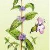 Лекарственное растение мята полевая