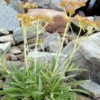 Лекарственное растение патриния средняя (каменная валериана)