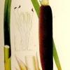 Лекарственное растение рогоз широколистный