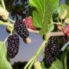 Лекарственное растение шелковица черная