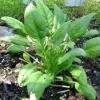Лекарственное растение шпинат огородный